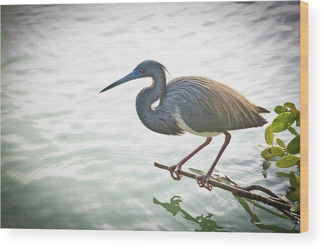 Tricolored Heron Wood Print featuring the photograph Tricolored Heron by Bill Martin