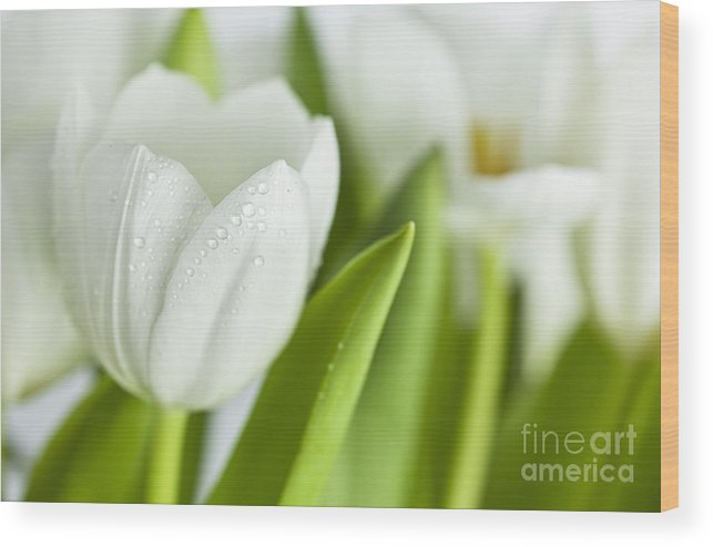 Dew Wood Print featuring the photograph White Tulips by Nailia Schwarz