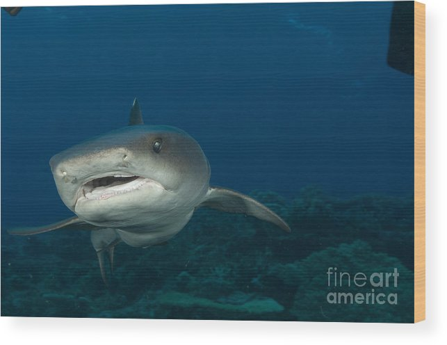 Kimbe Bay Wood Print featuring the photograph Whitetip Reef Shark, Kimbe Bay, Papua by Steve Jones