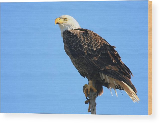 Adult Wood Print featuring the photograph Bald Eagle by Ira Runyan