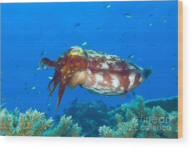 Cephalopod Wood Print featuring the photograph A Broadclub Cuttlefish, Kimbe Bay by Steve Jones