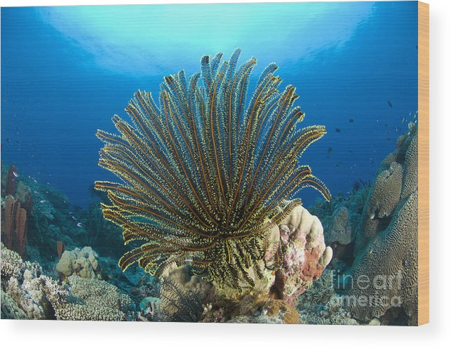 Crinoid Wood Print featuring the photograph A Feather Star With Arms Extended by Steve Jones