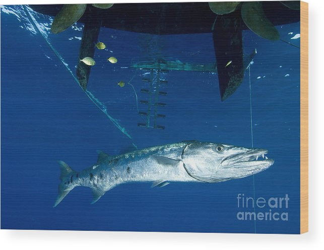 Osteichthyes Wood Print featuring the photograph A Great Barracuda Beneath A Boat, Kimbe by Steve Jones