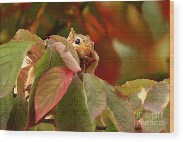 Adorable Chipmunk Hiding In Autumn Leaves Wood Print featuring the photograph Adorable Chipmunk Hiding In Autumn Leaves by Inspired Nature Photography Fine Art Photography