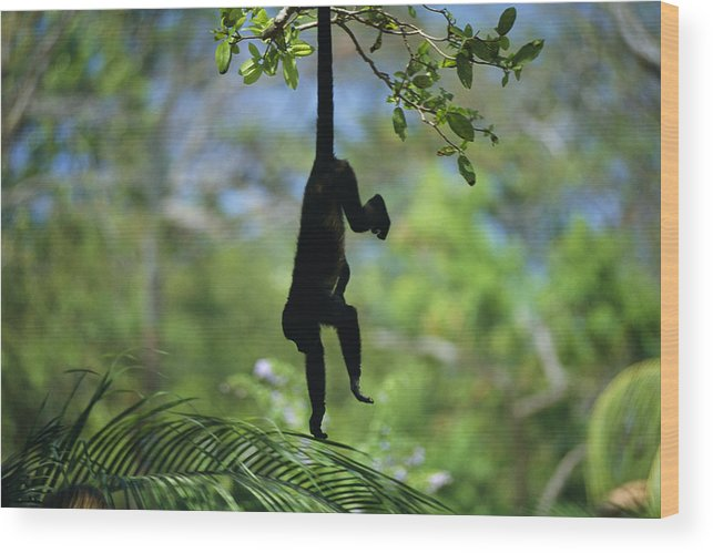 Animals Wood Print featuring the photograph An Unidentified Monkey Hangs by Todd Gipstein