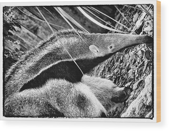 Ant Eater Wood Print featuring the photograph Ant Eater by Perla Copernik