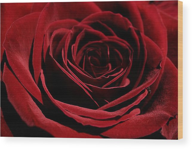 Ant Peeking Out Of Rose Wood Print featuring the photograph Ant Peeking Out Of Rose by Beth Akerman