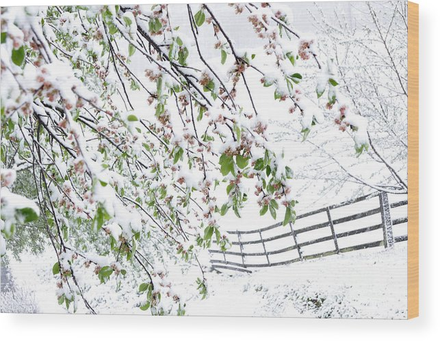 Spring Wood Print featuring the photograph Apple Tree In Bloom With Spring Snow by Thomas R Fletcher