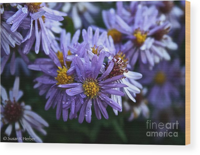 Flower Wood Print featuring the photograph Aster Dew Drops by Susan Herber