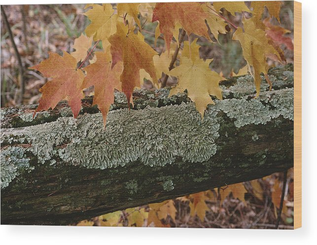 Outdoors Wood Print featuring the photograph Autumn Leaves And A Lichen-covered Log by Stephen Sharnoff