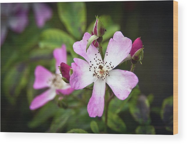Pams Gardens Wood Print featuring the photograph Ballerina Shrub Rose 3303 by Guy Whiteley