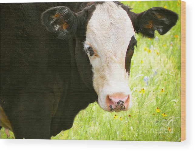 Cow Wood Print featuring the painting Bandit by Patsy Walton