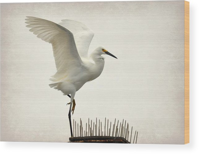 Snowy White Egret Wood Print featuring the photograph Bed Of Nails by Fraida Gutovich