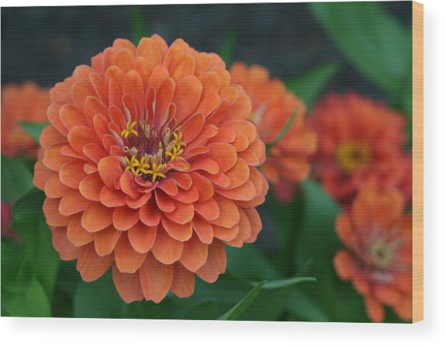 Zinnia Wood Print featuring the photograph Big Bold Zinnia Flower by Bonnie Boden