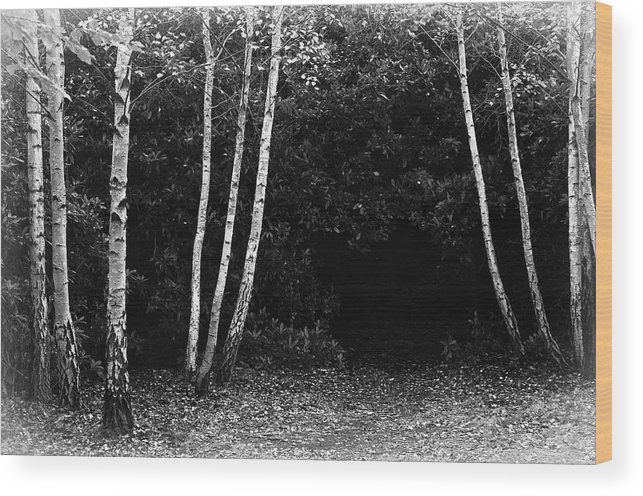 Nature Wood Print featuring the photograph Birches In Black And White by David Resnikoff