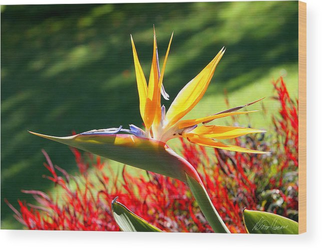 Flower Wood Print featuring the photograph Bird Of Paradise by Diana Haronis