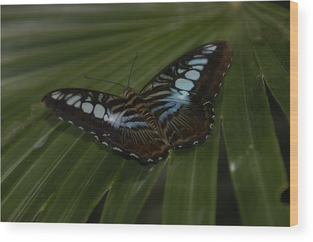 Butterfly Wood Print featuring the photograph Blue Butterfly by Artistinoz Jodie sims