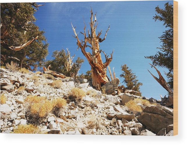 Bristlecones Wood Print featuring the photograph Bristlecone Skeleton by Michael Courtney