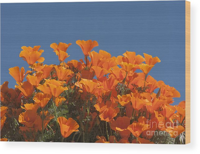 Sandra Bronstein Wood Print featuring the photograph California Poppies by Sandra Bronstein
