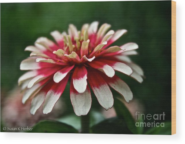 Garden Wood Print featuring the photograph Candy Color Zinnia by Susan Herber