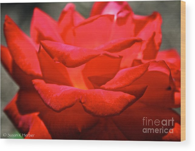 Flower Wood Print featuring the photograph Cherry Red Rose by Susan Herber