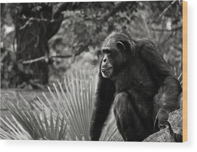 Chimp Wood Print featuring the photograph Chimp by Tim Thoms