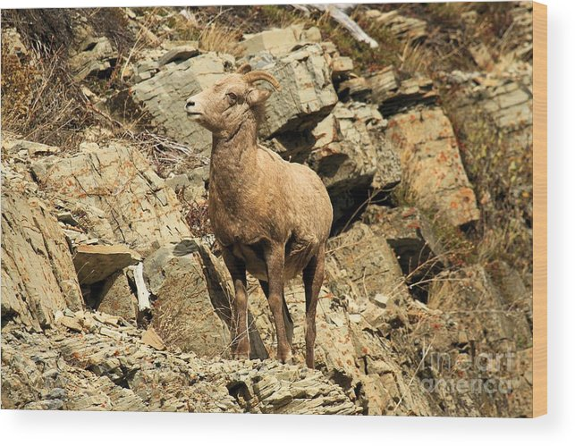 Big Horn Sheep Wood Print featuring the photograph Cliff Hanger by Adam Jewell