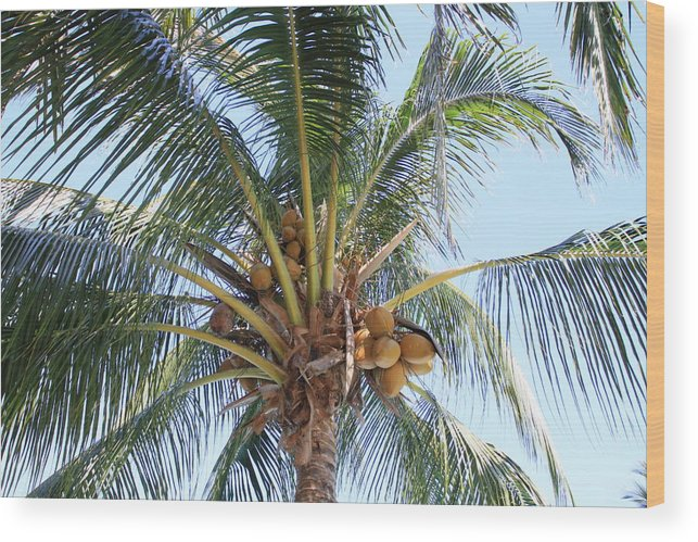 Coconut Wood Print featuring the photograph Coconuts by Gord Patterson