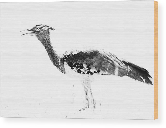 Largest Flying Bird Wood Print featuring the photograph Cori Bustard Bw by Joe Lategan