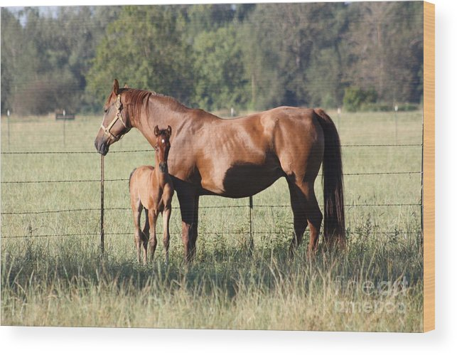Horses Wood Print featuring the photograph Curious Colt by Douglas Cloud