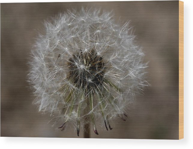 Dandelion Wood Print featuring the photograph Dandelion by Gord Patterson