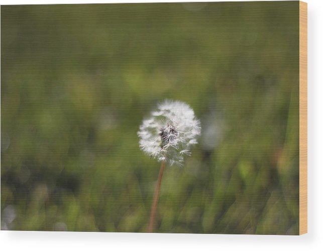 Grass Wood Print featuring the photograph Dandelion by Yuxuan Wan