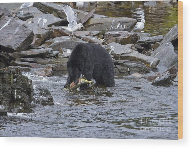 Black Bear And Dinner Wood Print featuring the photograph Dinner In Neets Bay by John Rowe