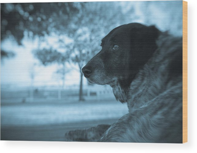 Black & White Wood Print featuring the photograph Dog's Point Of View by Paul Roach