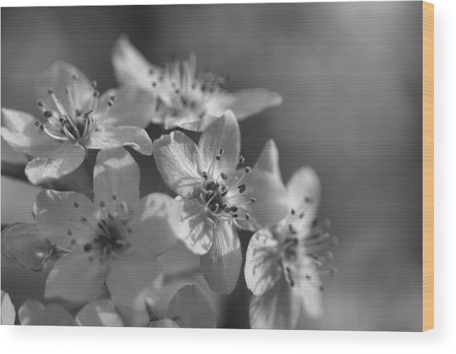 Bradfore Wood Print featuring the photograph Dreamy Spring Blossoms In Black And White by Kathy Clark