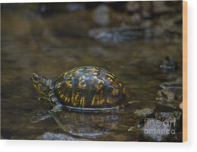Scott Wood Print featuring the photograph Eastern Box Turtle by Scott Hervieux