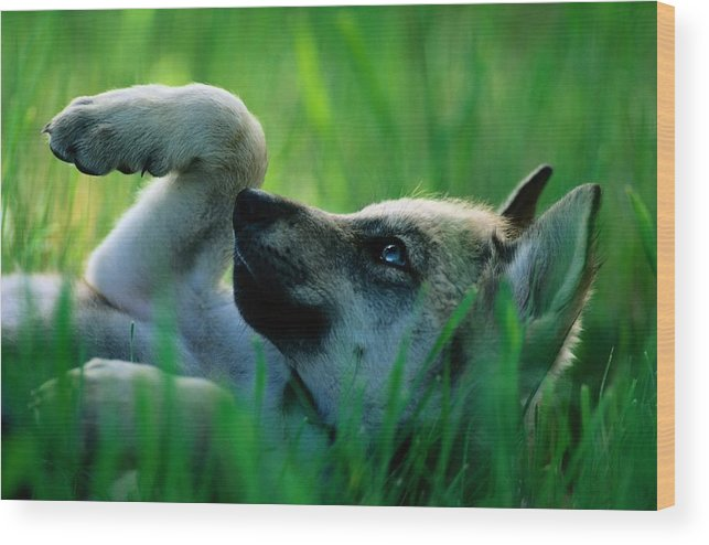 Color Image Wood Print featuring the photograph Eight-week-old Captive Gray Wolf, Canis by Joel Sartore