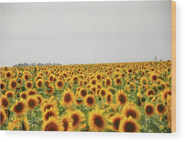 Sunflowers Wood Print featuring the photograph Endless Field Of Dreams by Wilton Brown