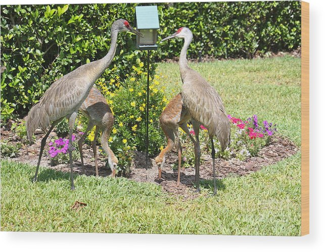 Sandhill Cranes Wood Print featuring the photograph Family Meal Time by Carol Groenen