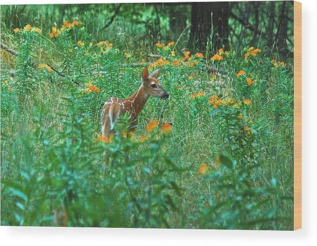 Daybreak Woods Wood Print featuring the photograph Fawn In A Field Of Milkweed by Michael Peychich