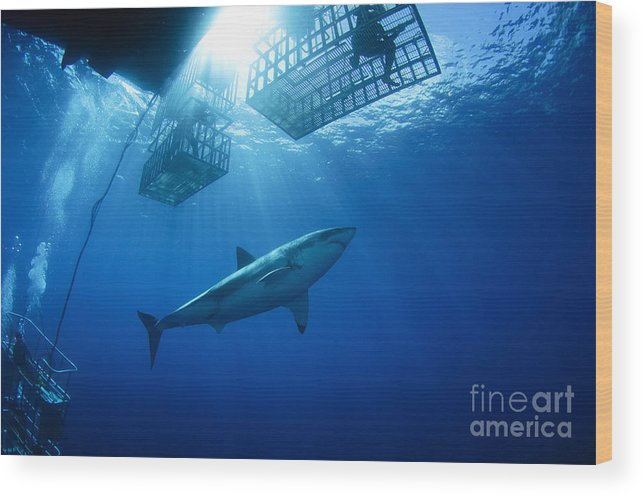 Carcharodon Carcharias Wood Print featuring the photograph Female Great White With Cages by Todd Winner