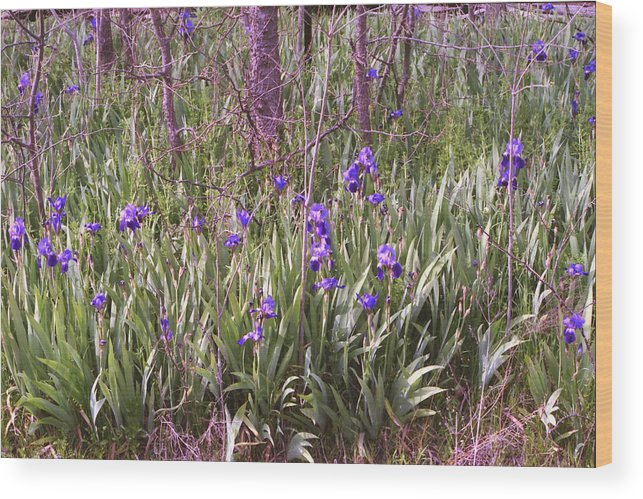 Bearded Iris Wood Print featuring the photograph Field Of Bearded Iris by Stephanie Smith