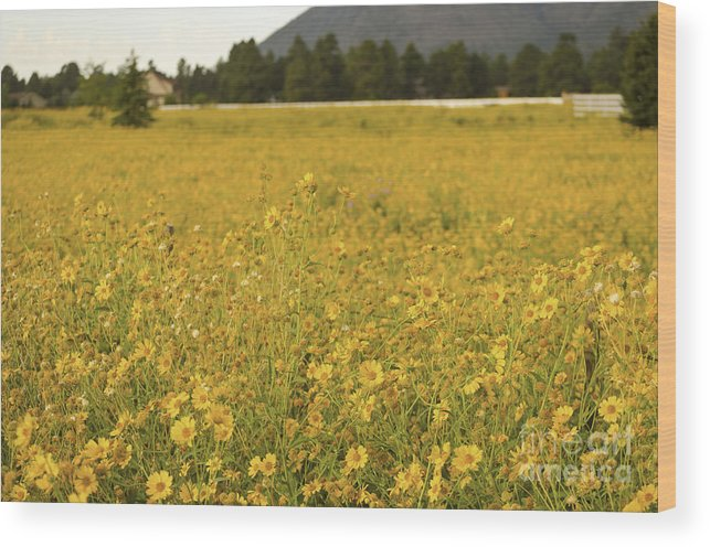 Fine Art Wood Print featuring the photograph Field Of Yellow Daisy's by Donna Greene