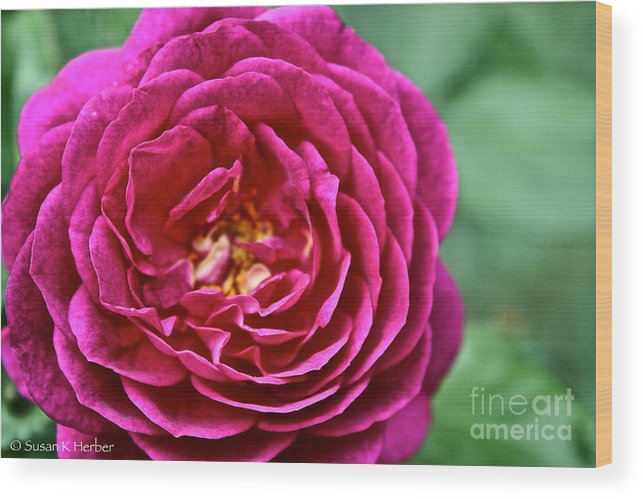 Garden Wood Print featuring the photograph Full Bloom by Susan Herber