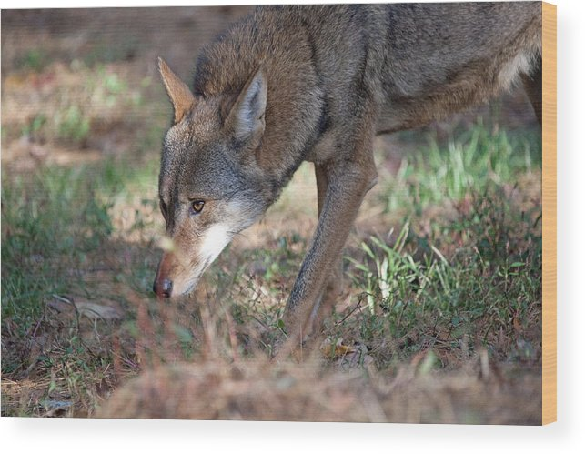 Wolf Wood Print featuring the photograph Gentle Wolf by Karol Livote