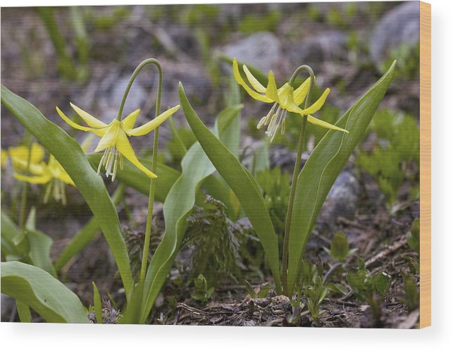 Yellow Avalanche Lily Wood Print featuring the photograph Glacier Lilies (erythronium Montanum) by Bob Gibbons