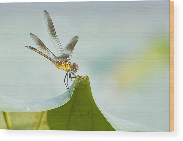 Golden Dragonfly Wood Print featuring the photograph Golden Dragonfly On Water Lily Leaf by Bonnie Barry