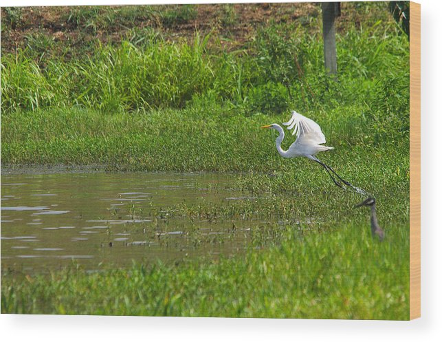 Bird Wood Print featuring the photograph Great Egret Takeoff by Roy Williams