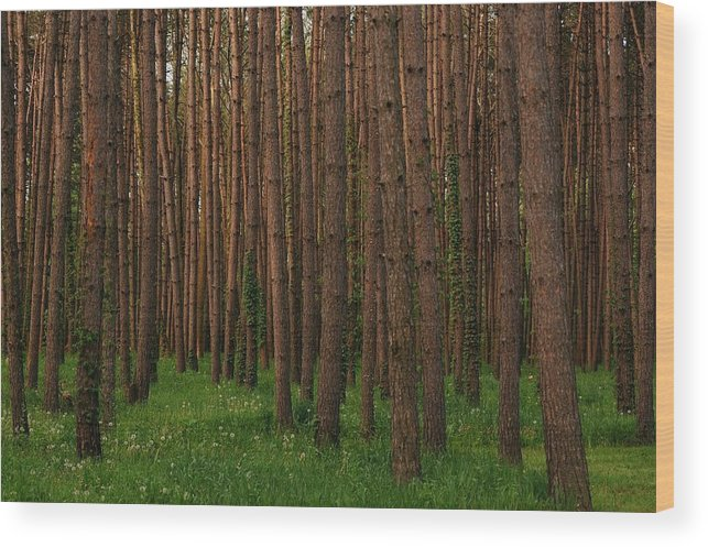 Beaver Creek State Park Wood Print featuring the photograph Greening In The Woods by Juanita L Ruffner