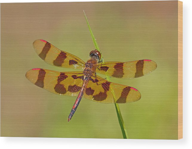 Dragonfly Wood Print featuring the photograph Halloween Pennant by David Freuthal